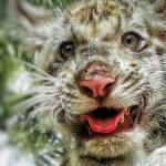 harimau benggala putih