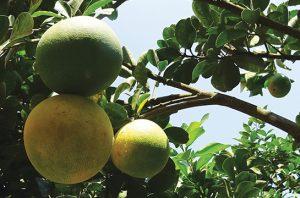 jeruk bali