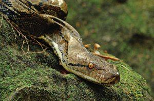 ular sanca batik