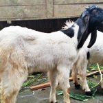 kambing peranakan etawa