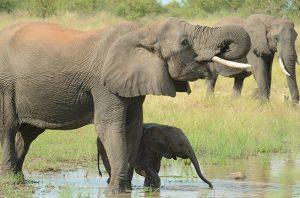 kematian gajah