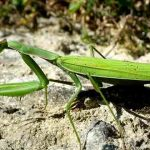 belalang sembah