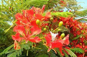 bunga flamboyan