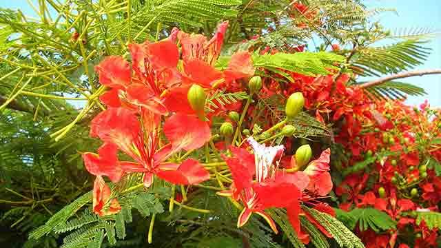Bunga Flamboyan Warna Terangnya Memikat Mata Greeners Co