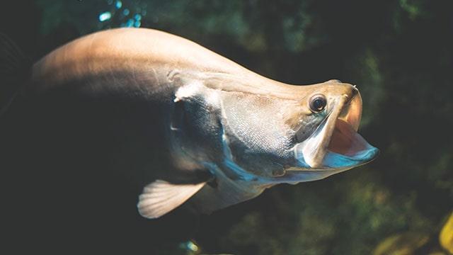 ikan belida predator yang nikmat