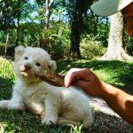 singa putih