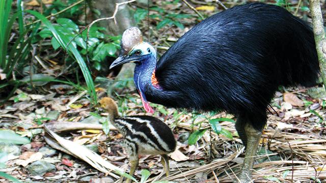 burung kasuari