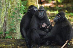 monyet hitam sulawesi