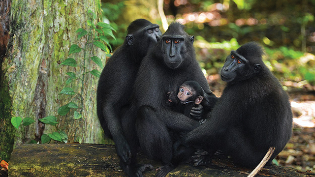 Black macaque | greeners.co