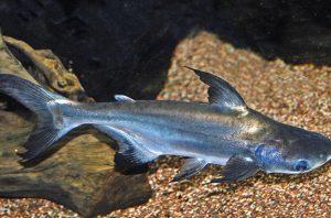 Mengenal Bisnis Menguntungkan Dari Budidaya Ikan Patin - BICA