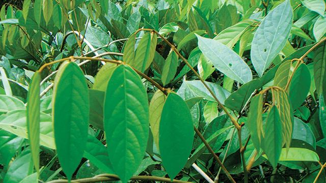 tanaman tuba
