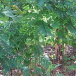 tanaman katuk