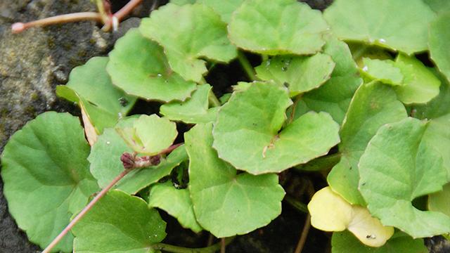 Pegagan Herba Mungil Pemberi Asupan Otak Greeners Co