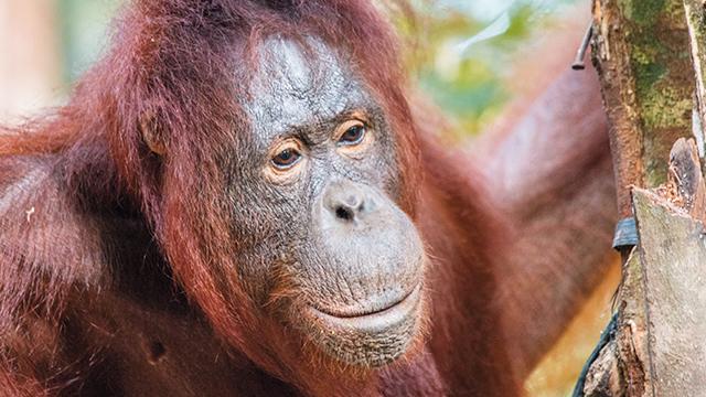 orangutan post release