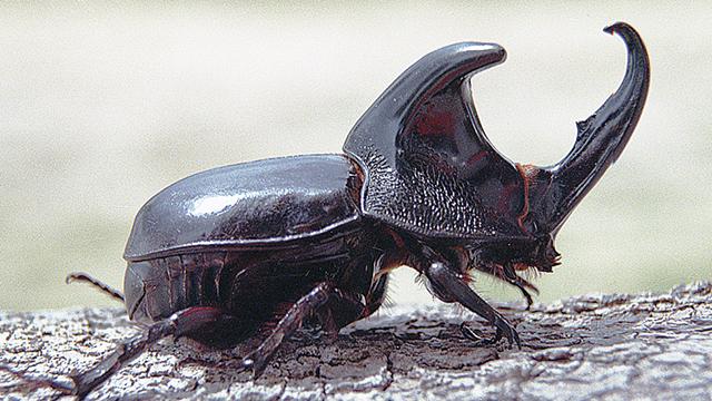 Kumbang Tanduk, Serangga Penyuka Palem - Greeners.Co