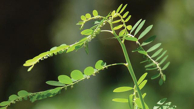 tumbuhan liar