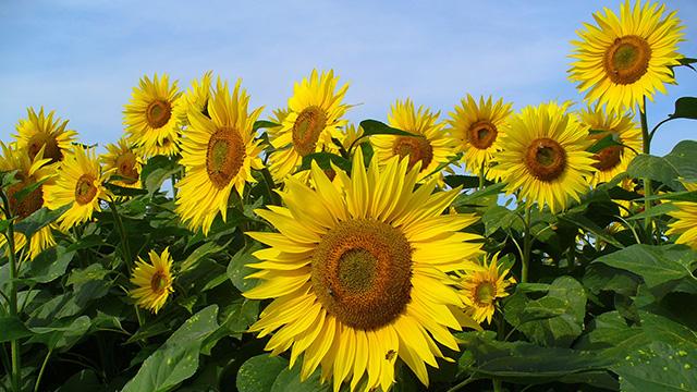 Bunga Matahari Ragam Manfaat Sang Penyerap Energi Surya Greeners Co