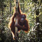 Hari Orangutan Internasional