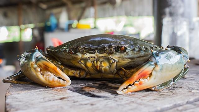 Kepiting Bakau, Krustasea Unggulan Penunggu Hutan Mangrove. Foto : Istimewa