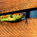 Ketemu Ular, Ini Yang Harus Kita Lakukan, www.greeners.co