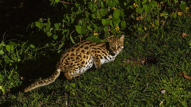 Kucing Congkok, Kucing Liar yang Dilindungi