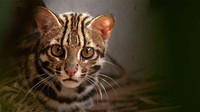 Kucing Congkok, Kucing Liar Yang Dilindungi.