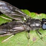 Lalat Tentara Hitam, Prajurit Kecil Bersayap Pengolah Sampah Organik. Foto : Shutterstock