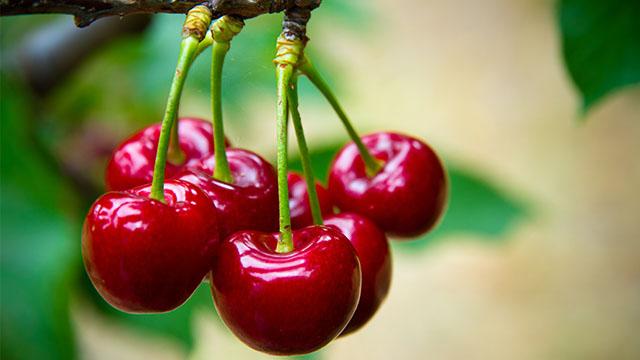 Lebih Sehat dengan Mengonsumsi Buah Ceri Prunus avium L.. Foto : Shutterstock
