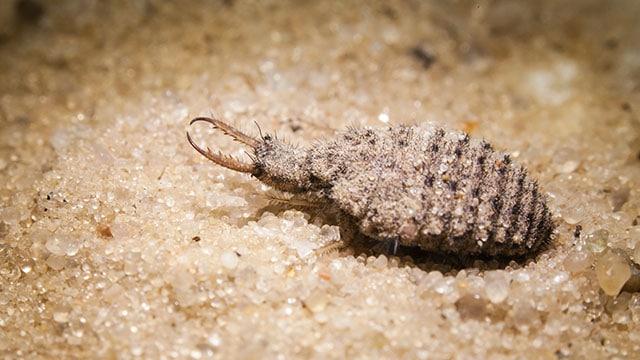 """Undur-Undur, """"Serangga Singa"""" Penyantap Semut (Larva)"""