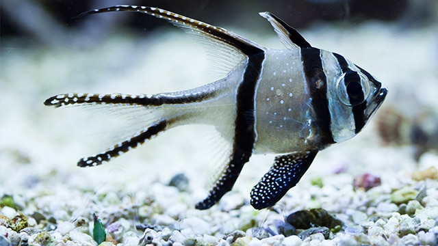 Ikan Capungan Banggai, Ikan Laut Hias Endemik SulTeng