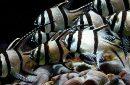 Ikan Capungan Banggai, Ikan Laut Hias Endemik Sulawesi Tengah