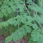 Kelor Moringa Oleifera, Si Mungil yang Mujarab Bagi Kesehatan