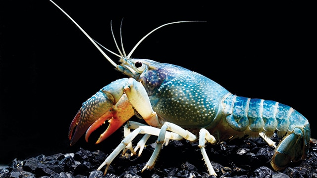 Lobster air tawar (Cherax quadricarinatus)