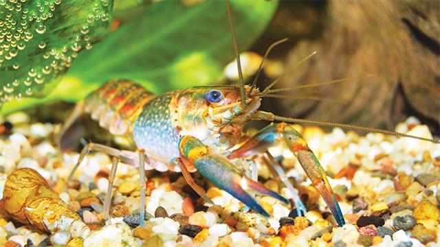 Lobster air tawar (Cherax quadricarinatus)