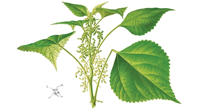 Rami (Boehmeria nivea (L.))