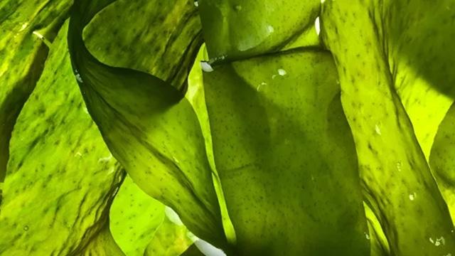 Loliware, sedotan ramah lingkungan dari rumput laut