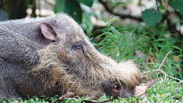 Babi Berjanggut
