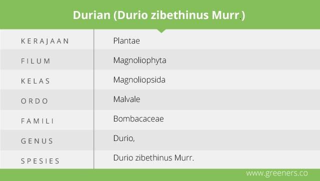 Taksonomi Buah Durian