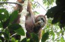 orangutan Tapanuli