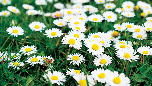 Bunga Daisy Si Mungil Dengan Sejuta Manfaat Greeners Co