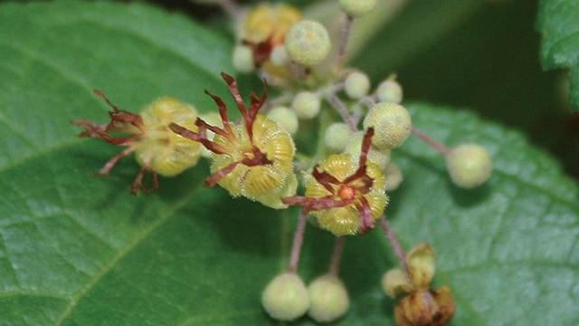 Bunga Jati Belanda