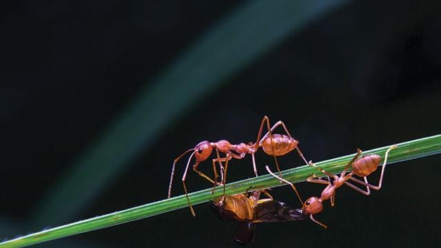 Semut Gila Kuning