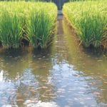 Rice-Fish Farming