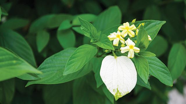 Bunga Nusa Indah
