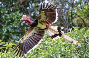 Burung Rangkong Gading