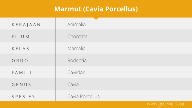 Taksonomi Marmut