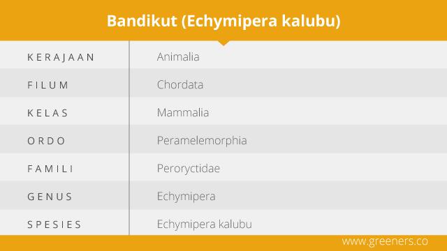 Taksonomi Bandikut