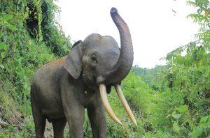 Gajah Ollo