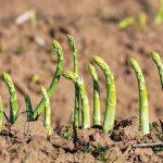Asparagus Rebung Kaya Nutrisi dari Dataran Tinggi