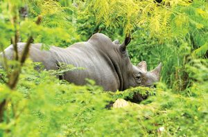 Rhino Population in Indonesia Less than One Hundred